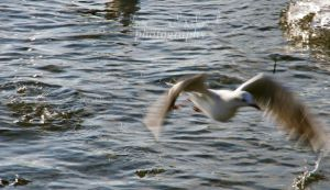 flying seagull by seasfairytale