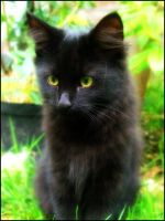 Portrait of a Black Kitten by liquidonyx