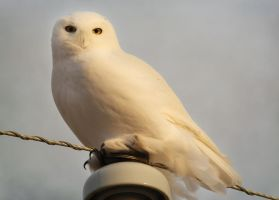 Snowy Owl by domitaliajinx