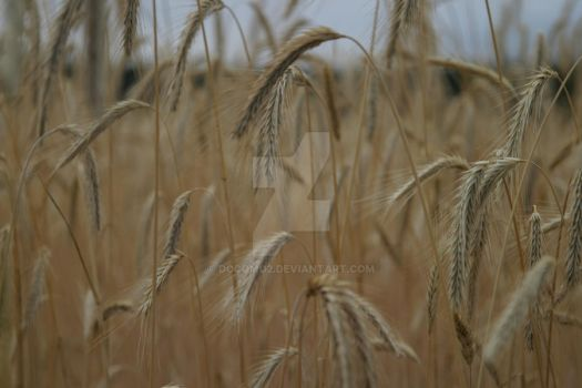 Wheat by docomo2