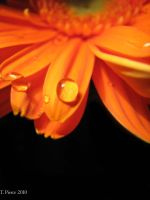 Orange Gerbera Daisy VIII by thriftyredhead