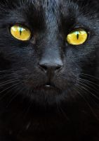 Black cat close-up by Very-Free-Stock