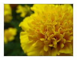 Yellow flower 3 by MichelleMarie