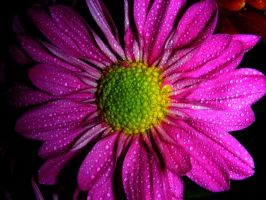 Hott Pink Daisy by ticklemeimsexy