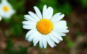 A Beautiful Daisy by TheHeartwoodStudio