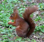 Wild animal 211 - red squirrel by Momotte2stocks