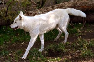 Canadian Grey White Wolf by Applinna