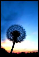 Blue Dandelion Sunset by FramedByNature