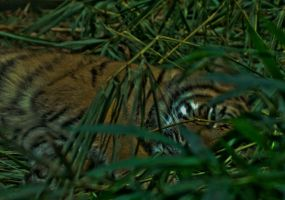 The sleeping tiger by Ariel1707