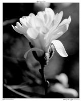 Spring in bw by yellowcaseartist