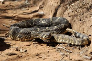 Rattler 1 by jake10684