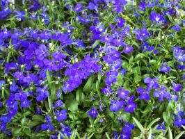 Little Blue Flowers by theNanna