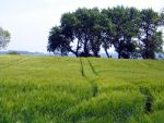 Barley Field in Holnis by Minoltaurus