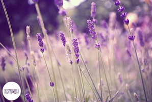 Lavender Breeze. by Hersmallworld