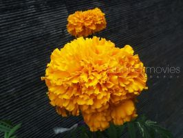 Beautiful Flower by nakulanand