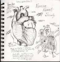 Human Heart Sketchbook study by bluesytealyren