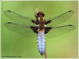 Libellula depressa - MALE by RichardConstantinoff