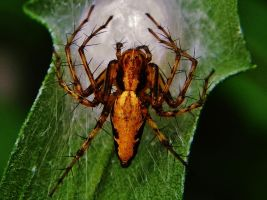 Spider with egg sac by Stone1980