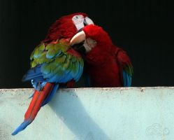 red-and-green macaws wallpaper by aswad-hajja