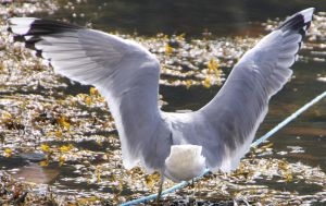 Seagull 4 by Chance-STOCK