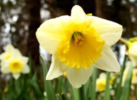 Spring Time Daffodils by RachelDS
