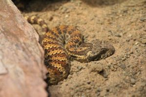 Common Death Adder by Daikaiju-fanboy
