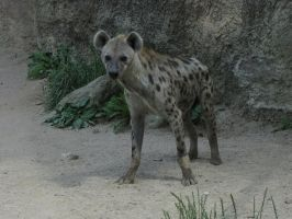 Spotted Hyena 21 by animalphotos