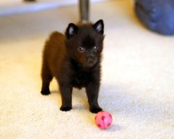 Schipperke Puppy by photoboater