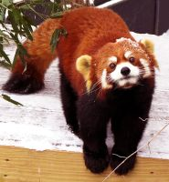 Red Panda Stock 8 by HOTNStock