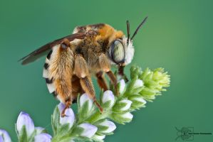 Long-horned Bee by ColinHuttonPhoto