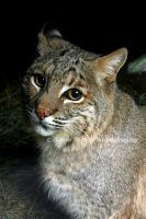 Bobcat up Close  IV by LoneWolfPhotography