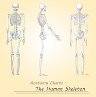 The Human Skeleton by Steeljren