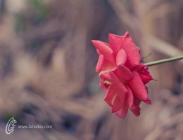 Wild Rose by fahadee