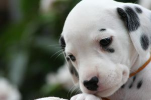 Dalmation Puppy 5 by Smartierocks