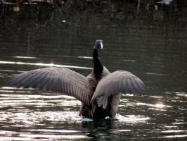 Geese Wings by dmguthery