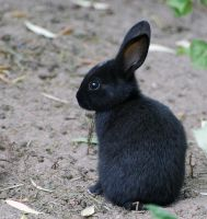 Tiny Black Bunny by Vampynella