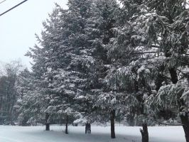 A Row Of Evergreen Trees In Winter 2014 by SirDNA109