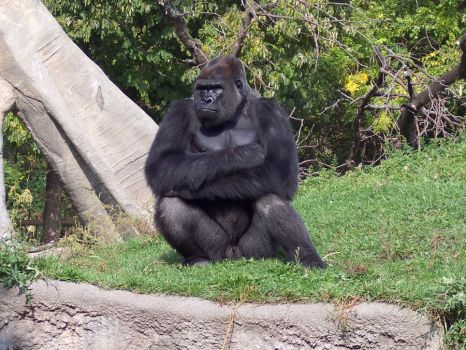 Gorilla -3- by Chaos--Stock