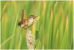 Territorial Marsh Wren by Ryser915