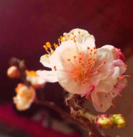 Flower Apricot2 by Sam-432