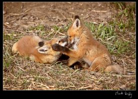 Kits at Play by pictureguy