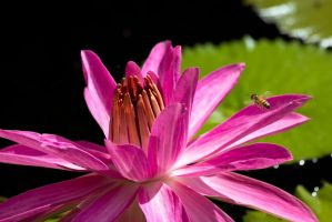 Bee With Lotus by MikeDaBadger