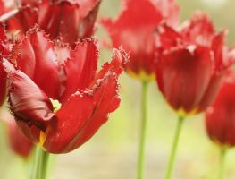 Tulips in Red by whimsicalworks