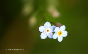 forget me not by Kristinaphoto