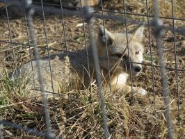 Colorado Wolf and Wildlife Center_62 by LumiTheWolf