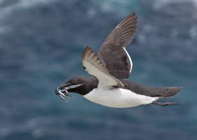 Successful dive - Razorbill by Jamie-MacArthur