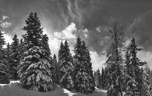 Pines by paolospina