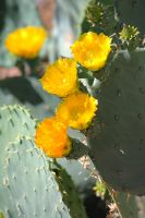 Prickly Pear Cactus Blooms by Monkeystyle3000