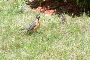 Baby Robin, Listening by Miss-Tbones