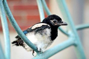 Baby magpie by barbko